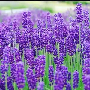 صابون گیاهی اسطوخودوس-تصویر 3